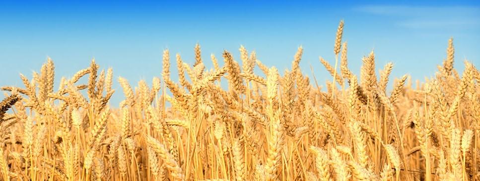 Commodity Marketing Wheat Field