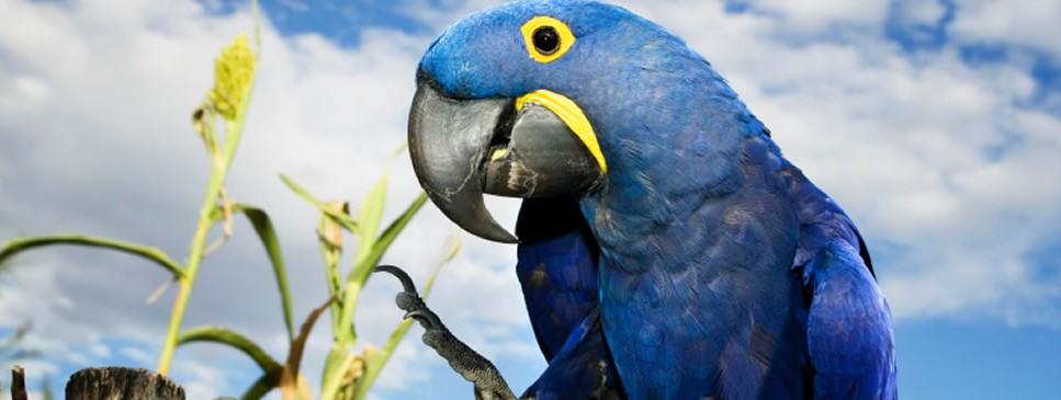 Blue Hyacinth Macaw Bird