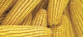 corn_whole_ear