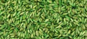 oats-groats-green