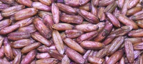 oats-groats-purple